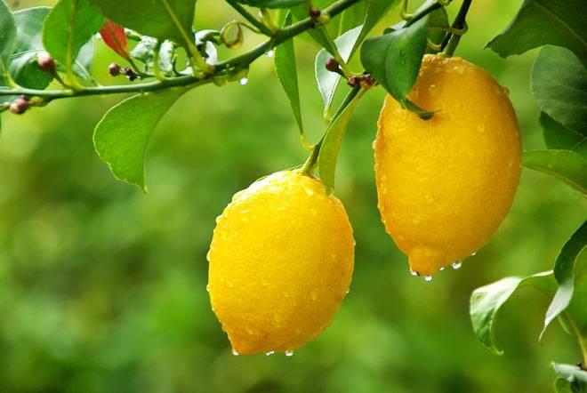 Как сохранить лимоны в домашних условиях надолго: в холодильнике свежими, где хранить, чтобы не испортились на зиму