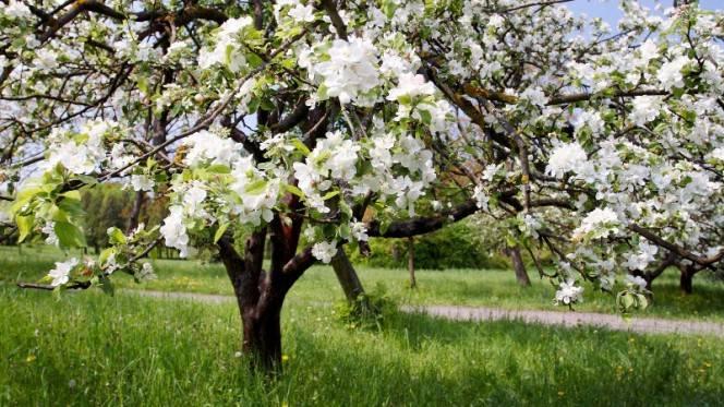 Как и чем подкормить яблоню в период созревания плодов? секреты подкормки для богатого урожая