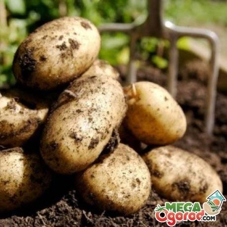 Картофельная нематода золотистая, стеблевая – причины появления и методы борьбы