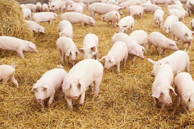 Саркоптоз свиней.