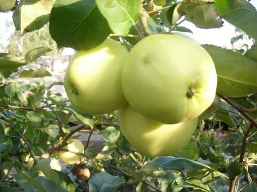 Яблоня белый налив: описание сорта, посадка и уход, фото, отзывы