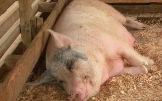 Искусственное осеменение свиней: виды и способы в домашних условиях