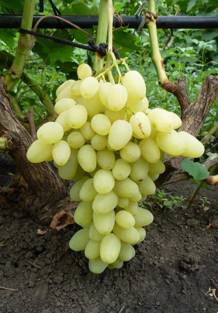 Зарница — это молодой и перспективный сорт винограда