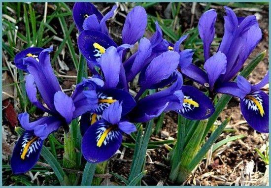 Цветы ирисы: посадка и уход в открытом грунте весной и осенью, подкормка, виды, выращивание