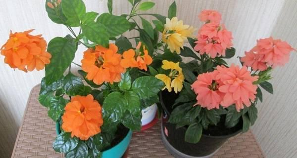 Кроссандра: уход в домашних условиях, выращивание из семян, фото цветка