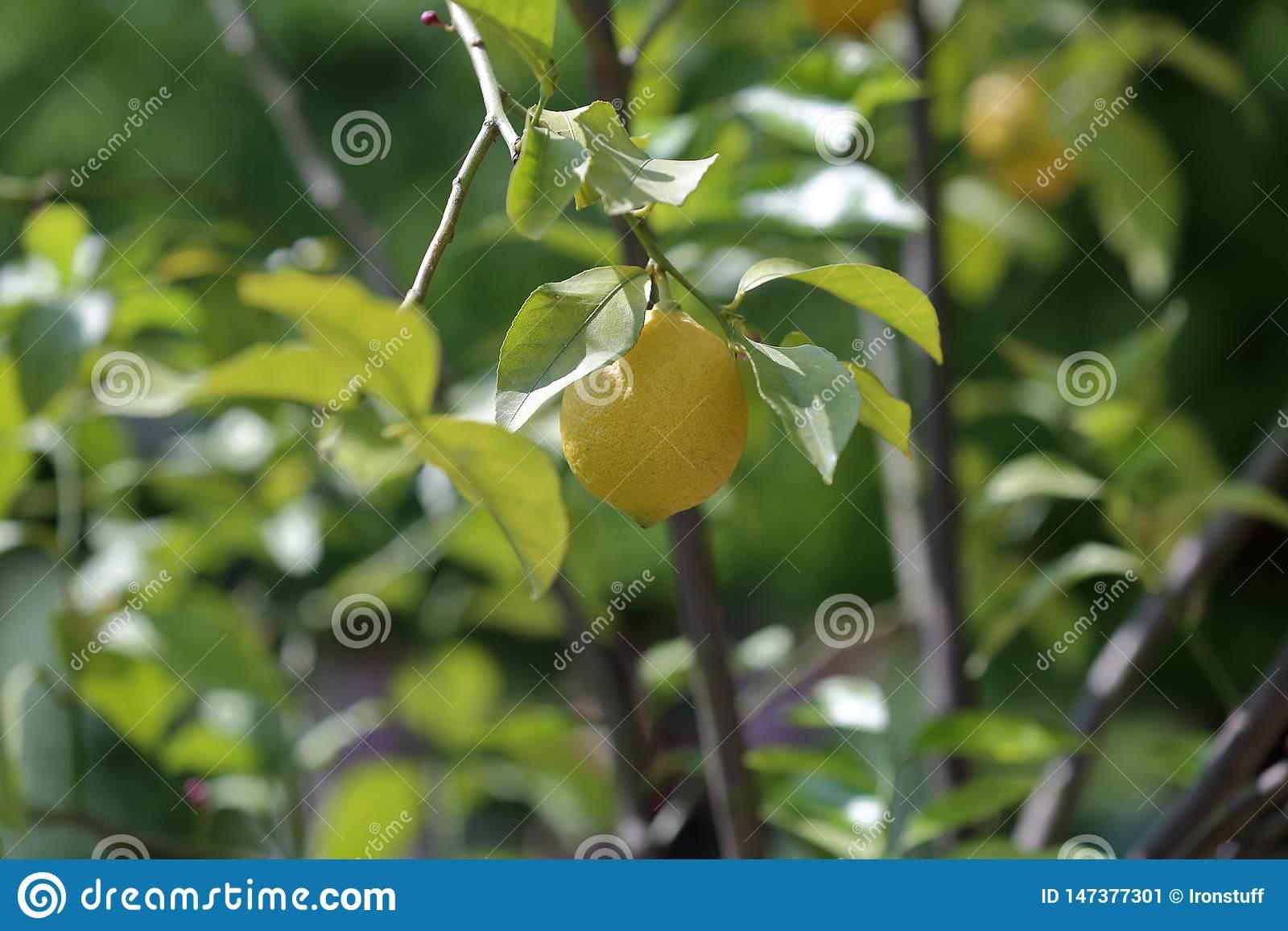 Лимон дикий: состав, калорийность, польза, рецепты