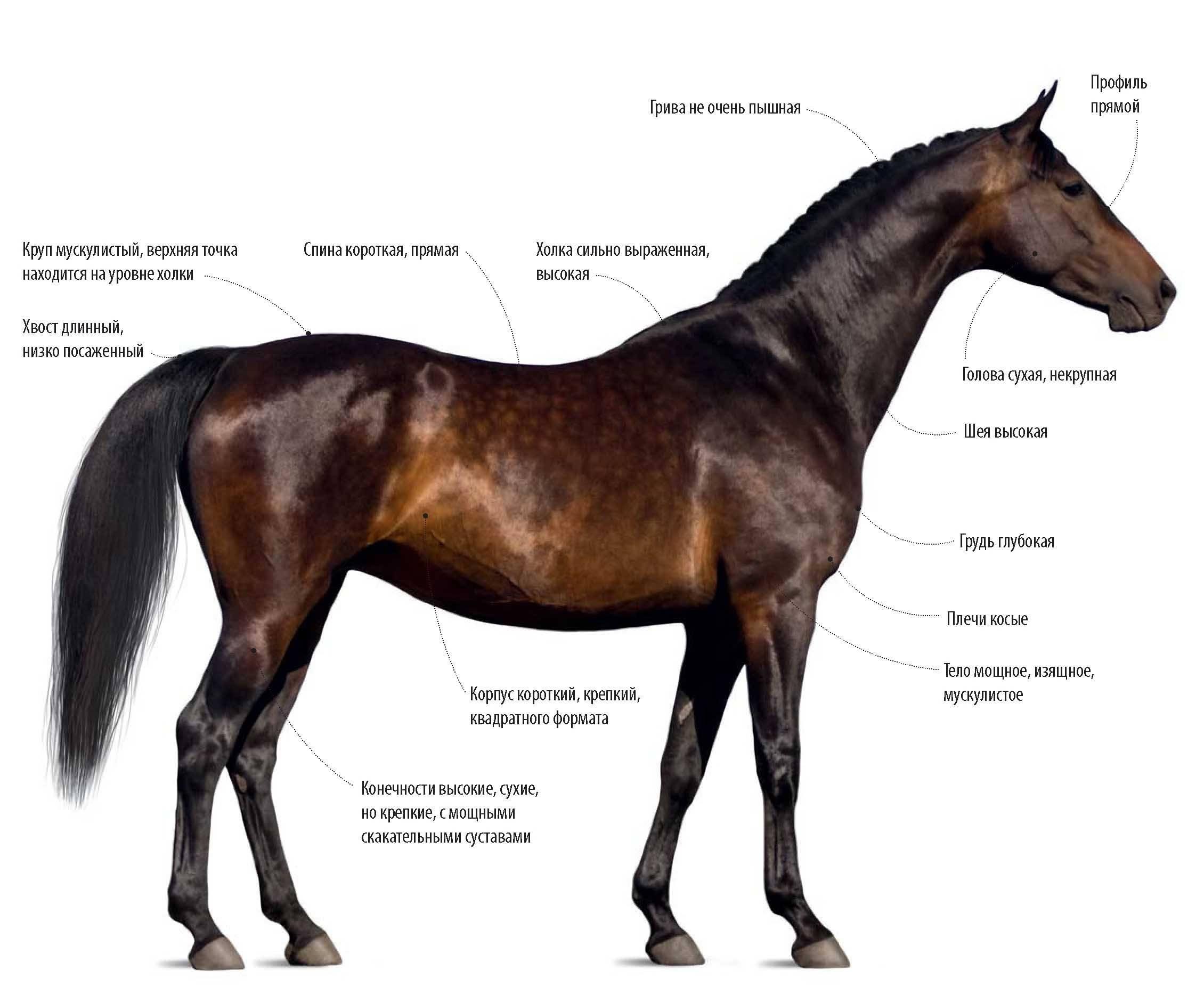 Английская порода лошадей – чистокровная верховая 2021