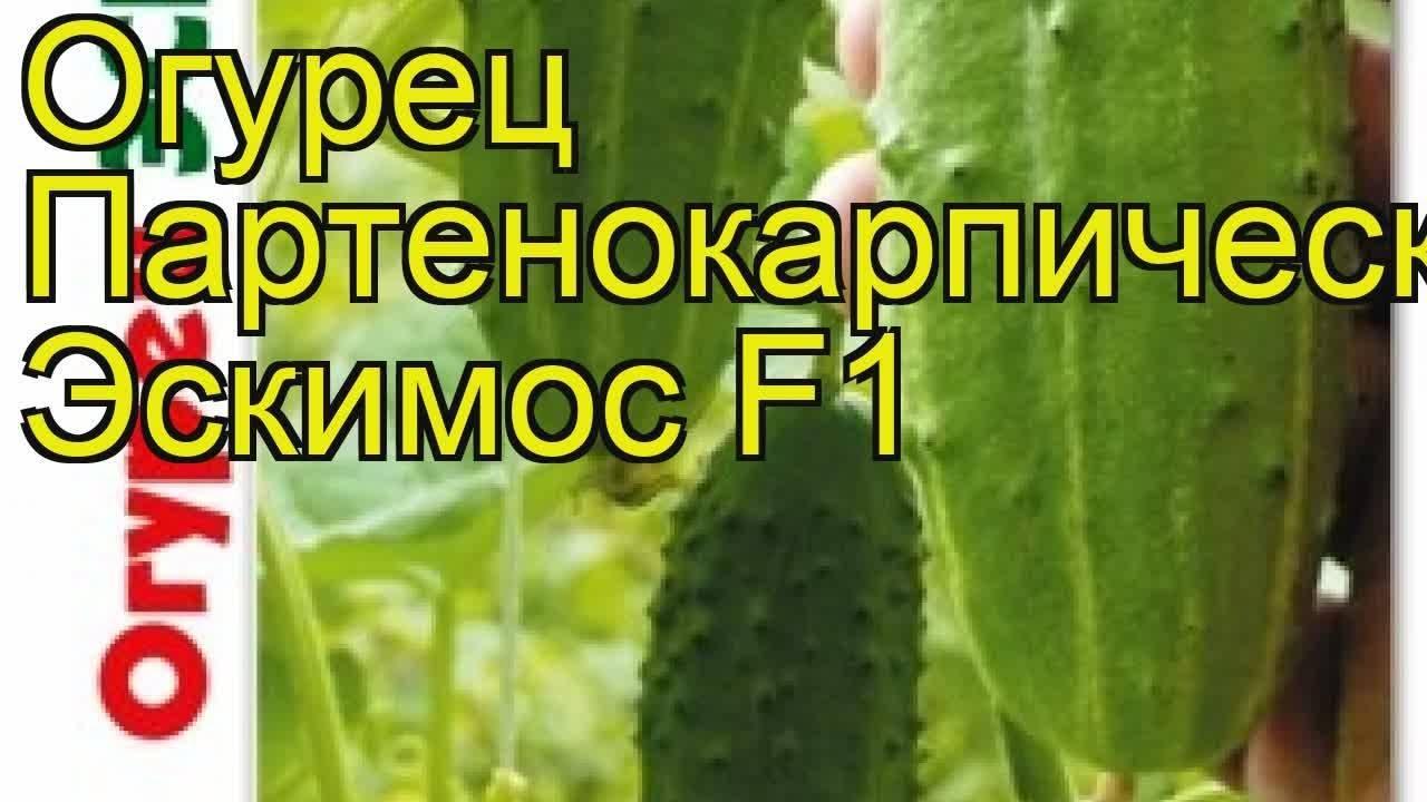Описание и преимущества гибридного сорта огурцов «элиза f1»