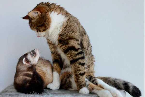 Как помочь ужиться кошке и хорьку: особенности совместного содержания