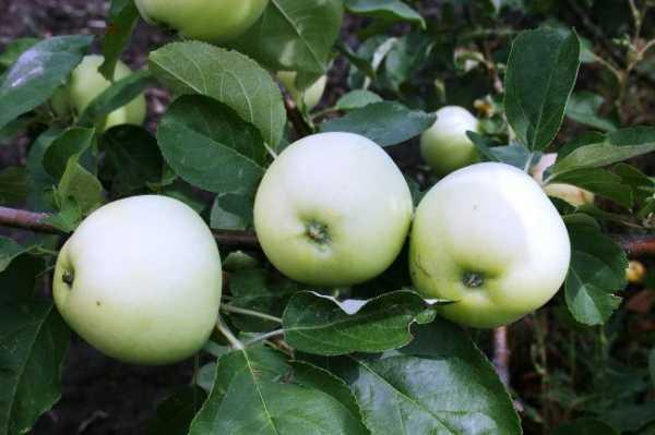 Сорт яблони белый налив: характеристика и сроки созревания плодов