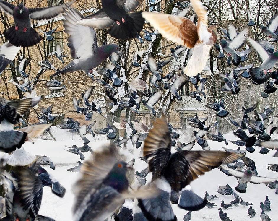 Характеристика Торцовых голубей