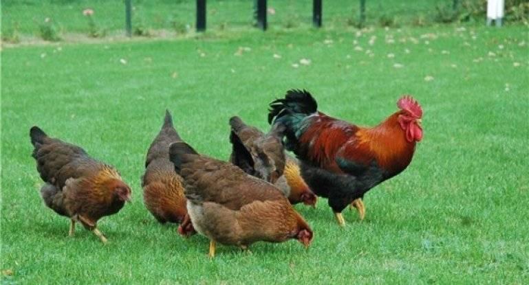 Вельзумер — порода кур