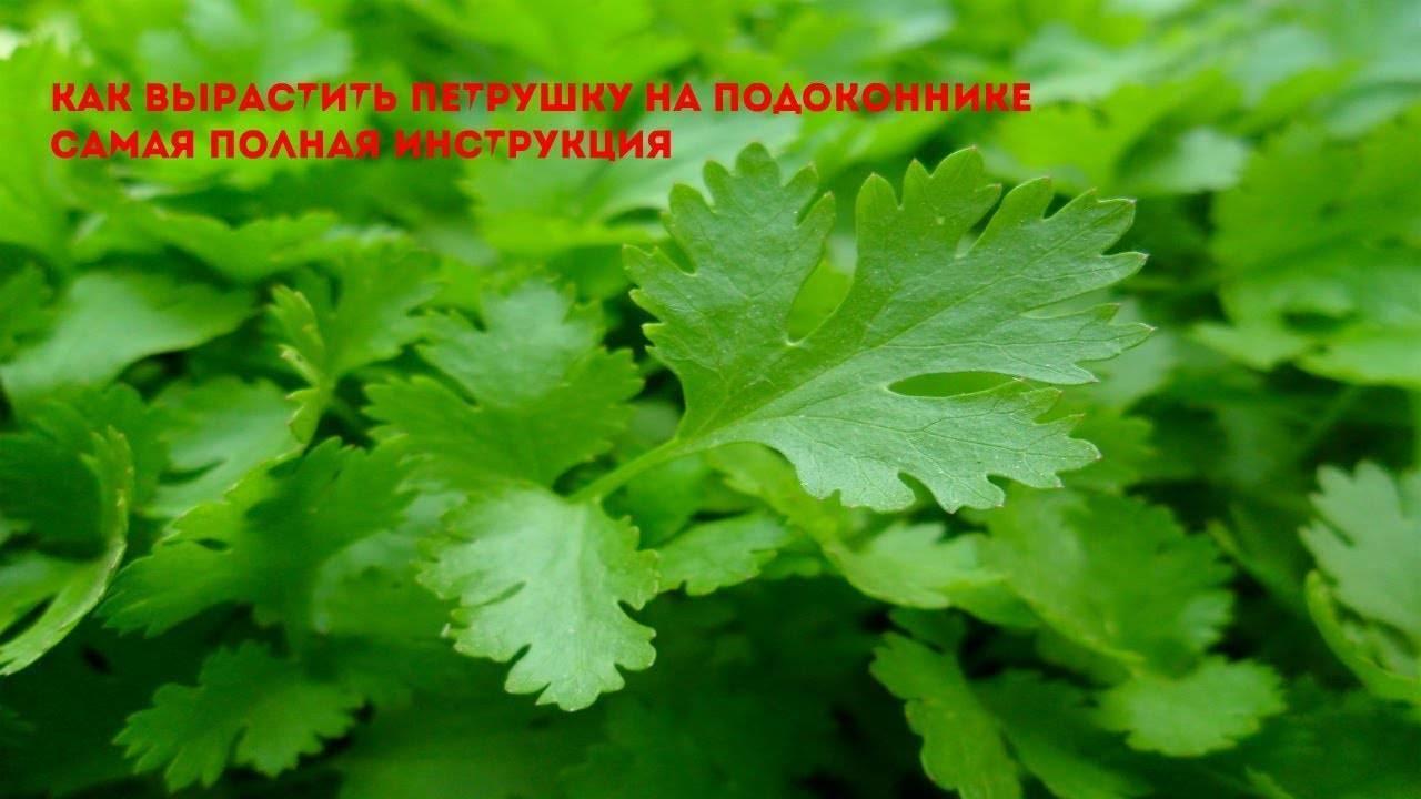 Выращивание петрушки из семян на подоконнике в горшке или на балконе квартиры: пошаговая инструкция как сажать корневую зелень, уход в домашних условиях русский фермер