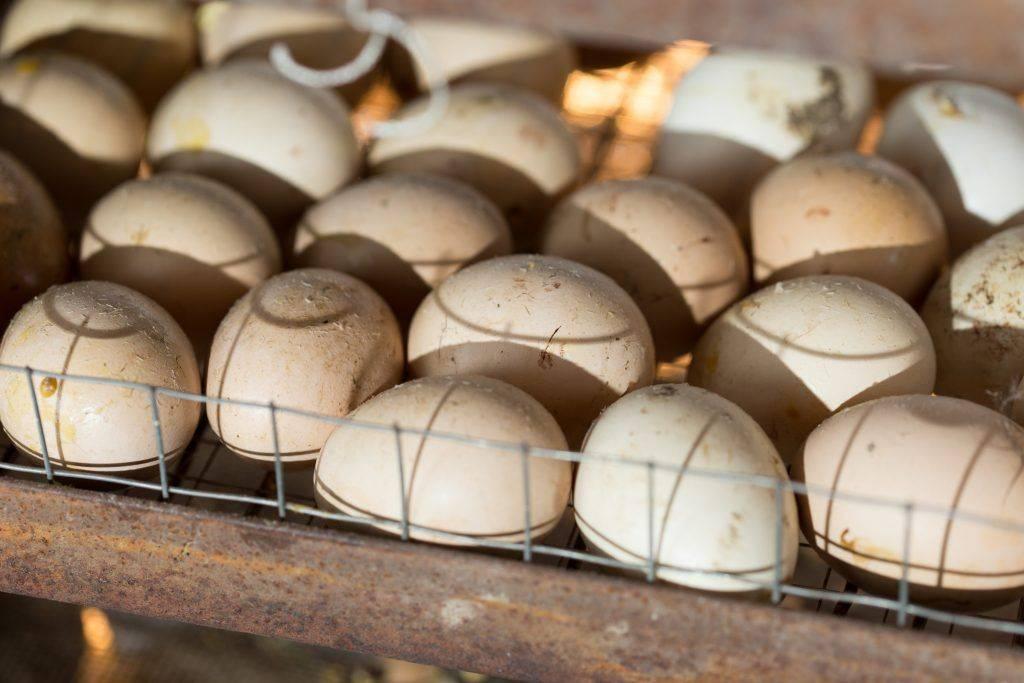 Инкубация куриных яиц в домашних условиях: советы, как сделать устройство самостоятельно, правила поддержания температуры и режимов selo.guru — интернет портал о сельском хозяйстве
