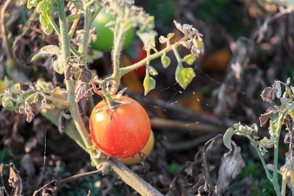 Почему сохнут листья у рассады помидоров: причины, что делать