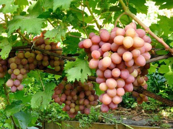 Описание и выращивание столового сорта винограда «гала»