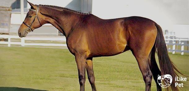 Отличительные черты тракененской породы лошадей