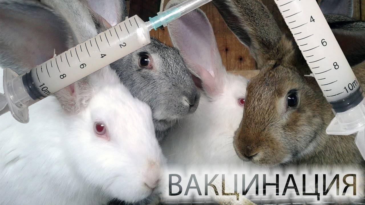 Прививки кроликам — какие и когда делать