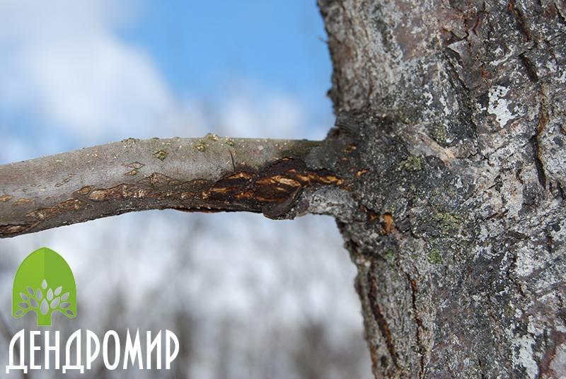 Монилиоз яблони: меры борьбы с плодовой гнилью, лечение и профилактика