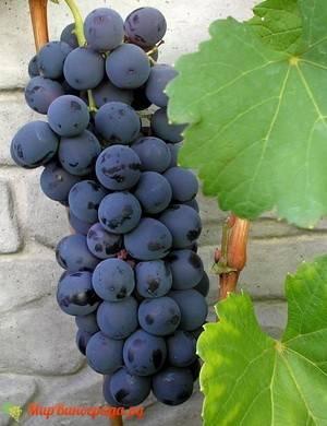 """Виноград """"шахтер"""": описание сорта, фото, отзывы"""