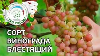 Виноград блестящий - мир винограда - сайт для виноградарей и виноделов