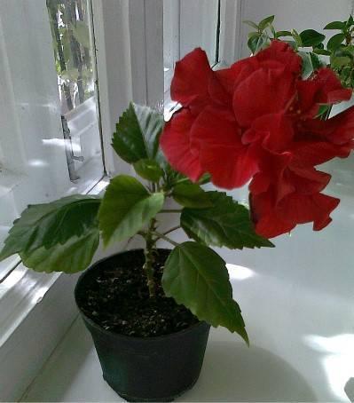 Как пересадить домашнюю розу: правила и полезные советы. комнатная роза