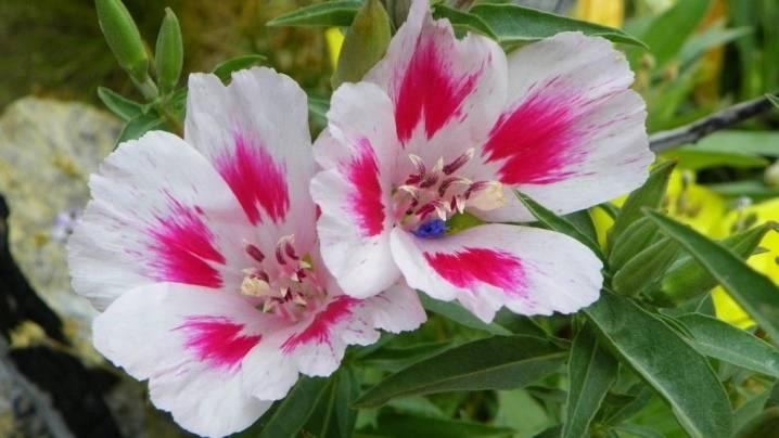 Кларкия изящная (43 фото): выращивание «смеси окрасок» кларкии ноготковой. как посадить семена цветка на клумбе? уход в домашних условиях