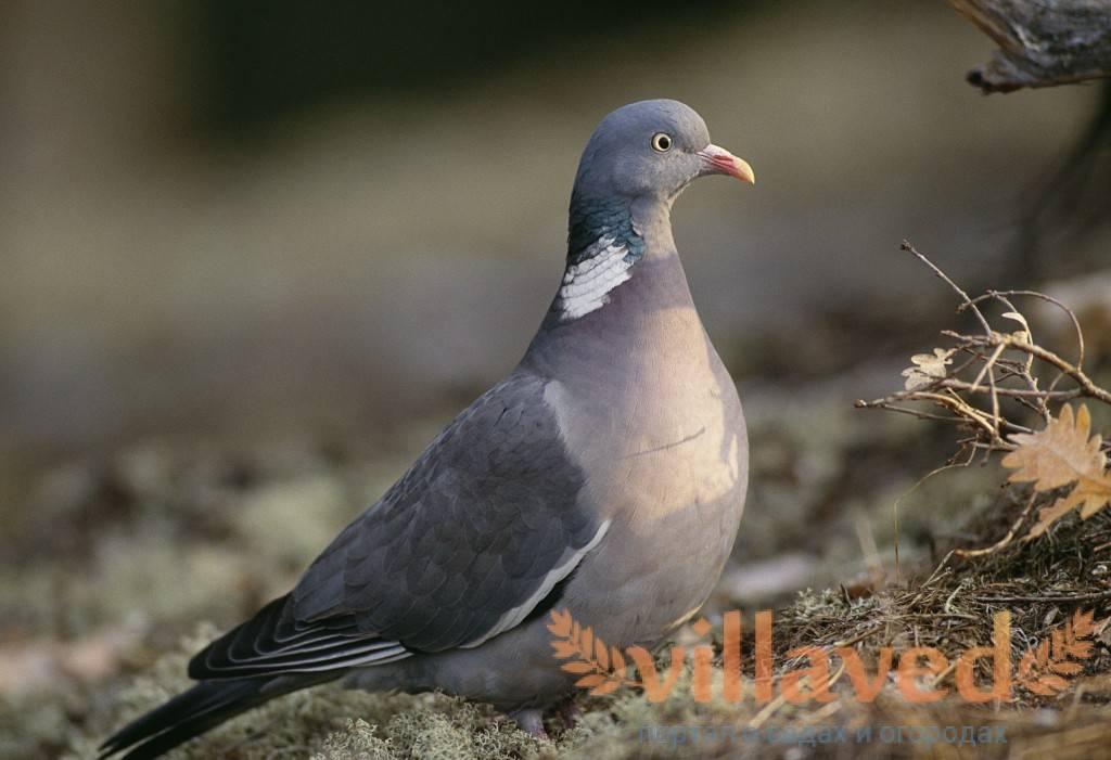 Породы высоколетных голубей