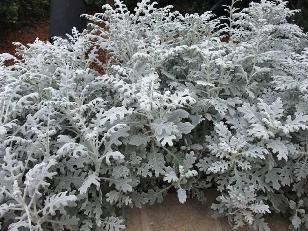 Цинерария - посадка и уход в открытом грунте, выращивание из семян на клумбе
