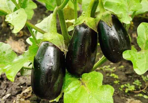 Как я выращиваю баклажаны без рассады в открытом грунте. выбор места, посев, уход. фото — ботаничка.ru