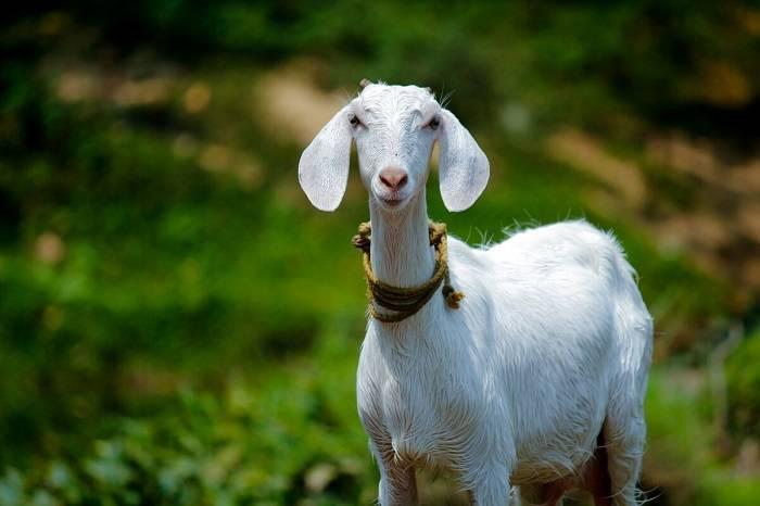 Как назвать козу девочку или козленка – dachnik.net.ru