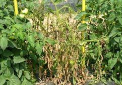 Лечение фузариозного увядания томатов: описание и фото сухой гнили на помидорах, что делать для их профилактики, чем бороться и как выбрать устойчивые сорта?