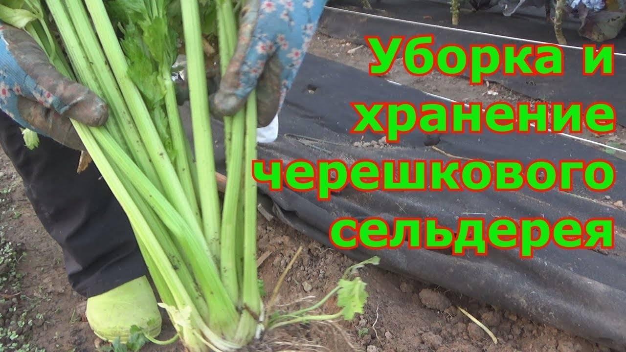 Сельдерей: когда убирать и как хранить, полезные свойства