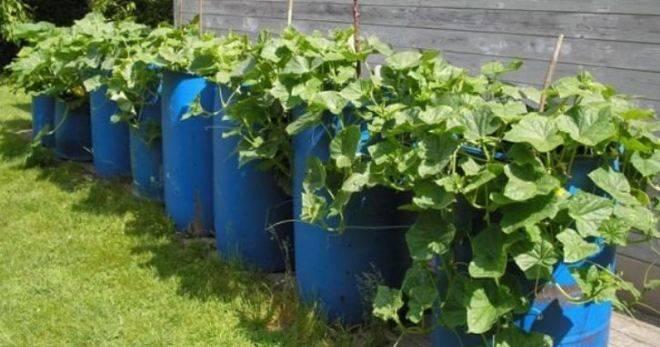 Выращивание огурцов на малых участках — оригинальные способы