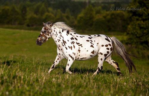Лошадь аппалуза: описание, особенности породы, разведение :: syl.ru