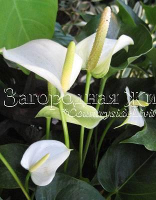 Антуриум андре — уход за комнатным растением в домашних условиях