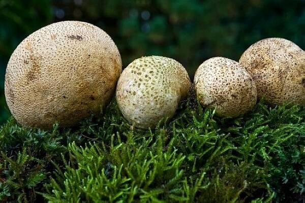 Ложнодождевик бородавчатый: как выглядит, где растет, съедобность, как отличить, фото