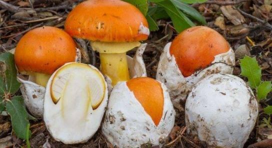 Цезарский гриб (царский гриб) - съедобные грибы | описание, фото и видео