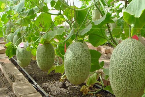 Как вырастить арбузы и дыни в теплице из поликарбоната