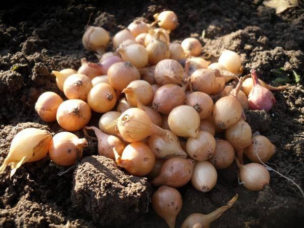 Как правильно высаживать лук-севок на зиму