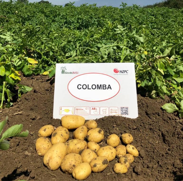 Картофель сорта коломбо: описание, характеристики, отзывы, фото