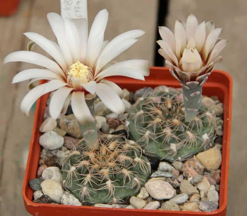 Виды кактусов - 24 вида с фото и описанием