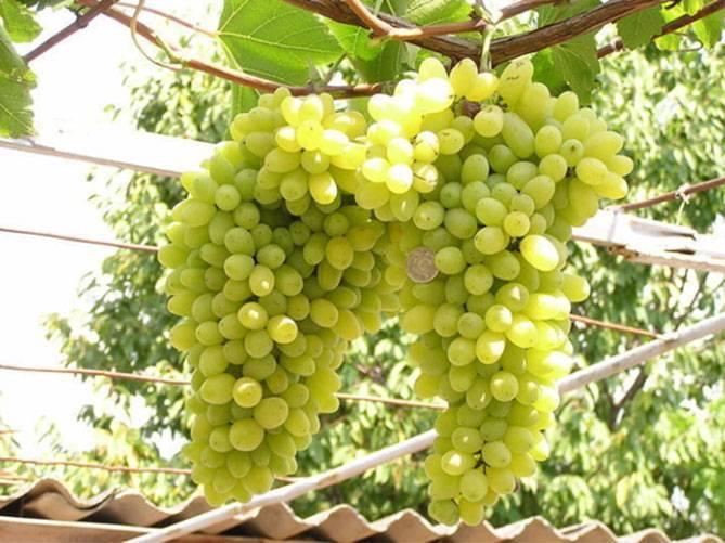 Виноград сорта лора: описание, посадка и уход