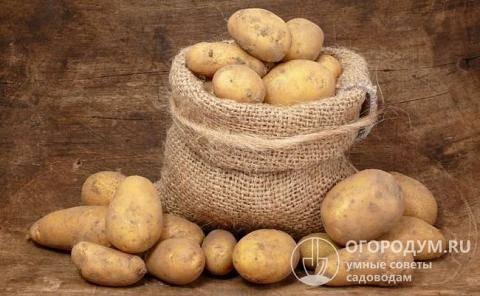 Свитанок киевский: характеристика сорта картофеля