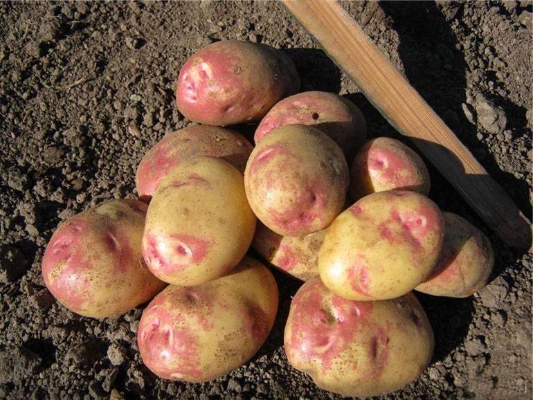 Фиолетовая картошка— просто картофель или экзотический деликатес?