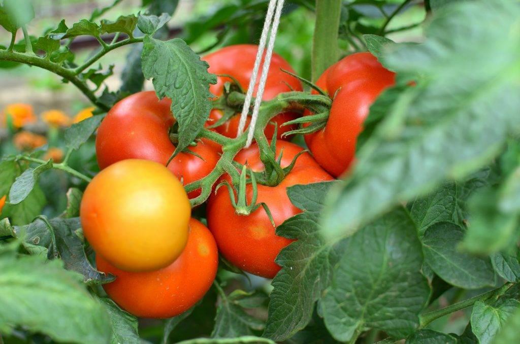 Характеристика и описание сорта томата кибо, его урожайность. помидоры «кибо f1» (ks 222 f1)