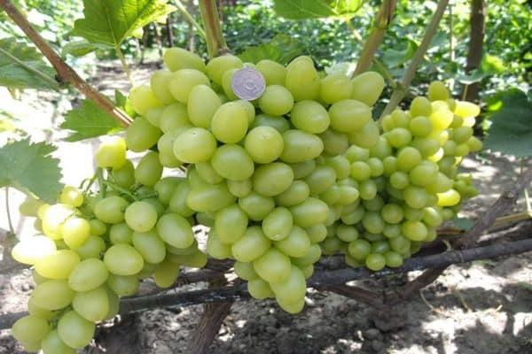 Виноград дарья: описание сорта - про сорта