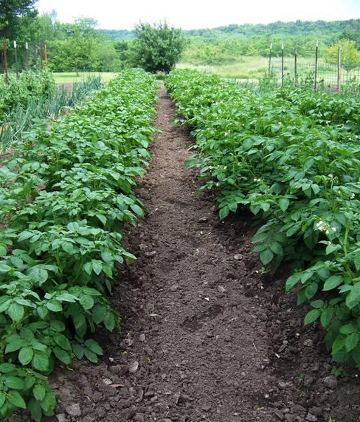 Лазурит от сорняков: инструкция по применению на картошке, отзывы и аналоги