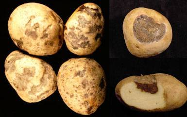 Картофель это корнеплод. как называется плод картофеля: клубень или ягода