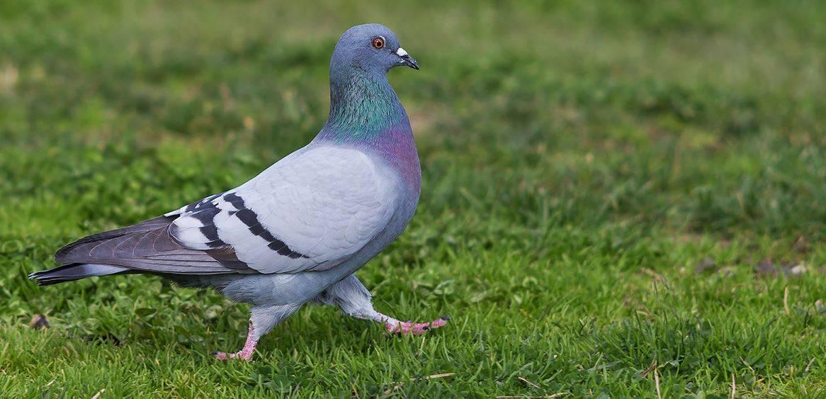 Все о декоративных голубях: описания пород, фото и видео